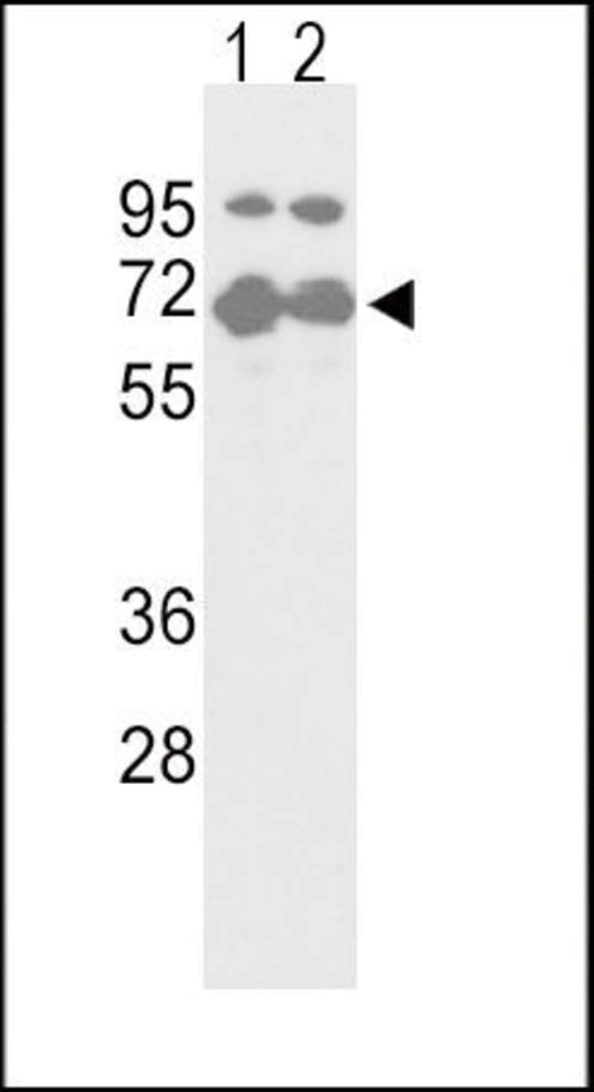 Nrf2 Rabbit anti-Human, Polyclonal, Invitrogen 400 µL; Unconjugated