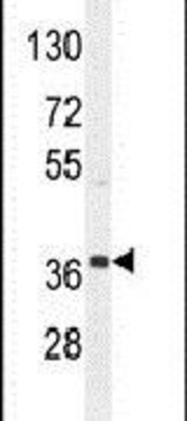 NKAPL Rabbit anti-Human, Polyclonal, Invitrogen 400 µL; Unconjugated