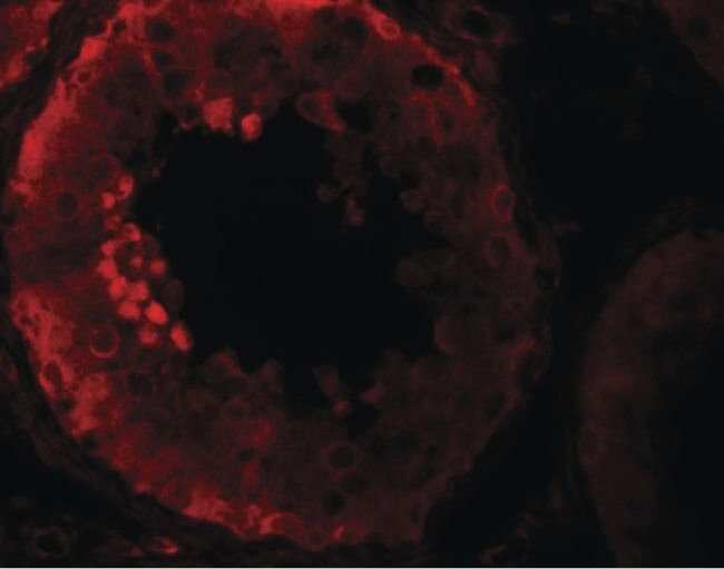 NALP9 Rabbit anti-Human, Mouse, Polyclonal, Invitrogen 100 µg; Unconjugated