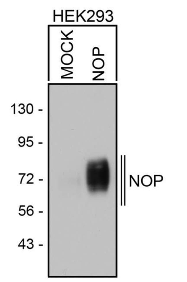 OPRL1 Rabbit anti-Human, Polyclonal, Invitrogen 100 µL; Unconjugated
