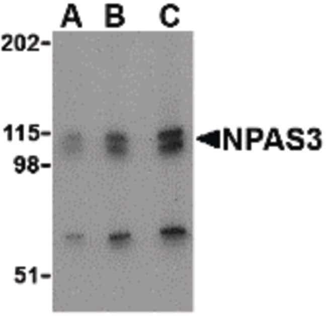 NPAS3 Rabbit anti-Human, Mouse, Rat, Polyclonal, Invitrogen 100 µg;
