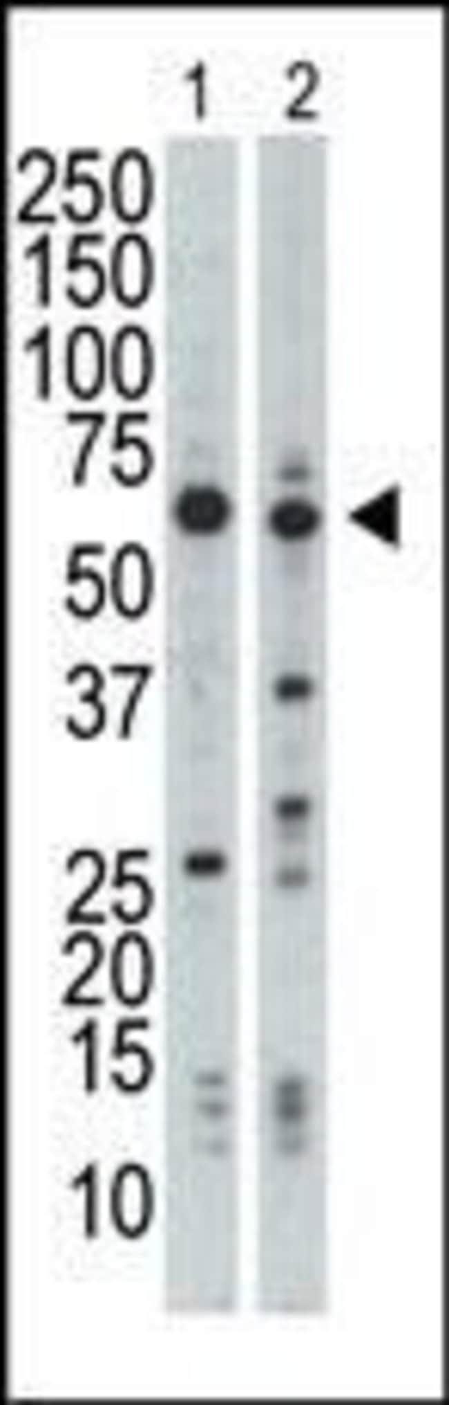 NRBP Rabbit anti-Human, Mouse, Polyclonal, Invitrogen 400 µL; Unconjugated