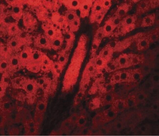 WDR74 Rabbit anti-Human, Mouse, Rat, Polyclonal, Invitrogen 100 µg;