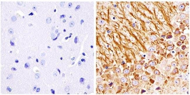 NEFM Mouse anti-Human, Mouse, Rat, Clone: RMO-270, Invitrogen 200 μg;
