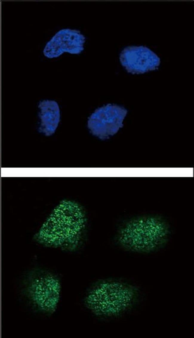 NeuroG3, Polyclonal, Invitrogen 400µL; Unconjugated