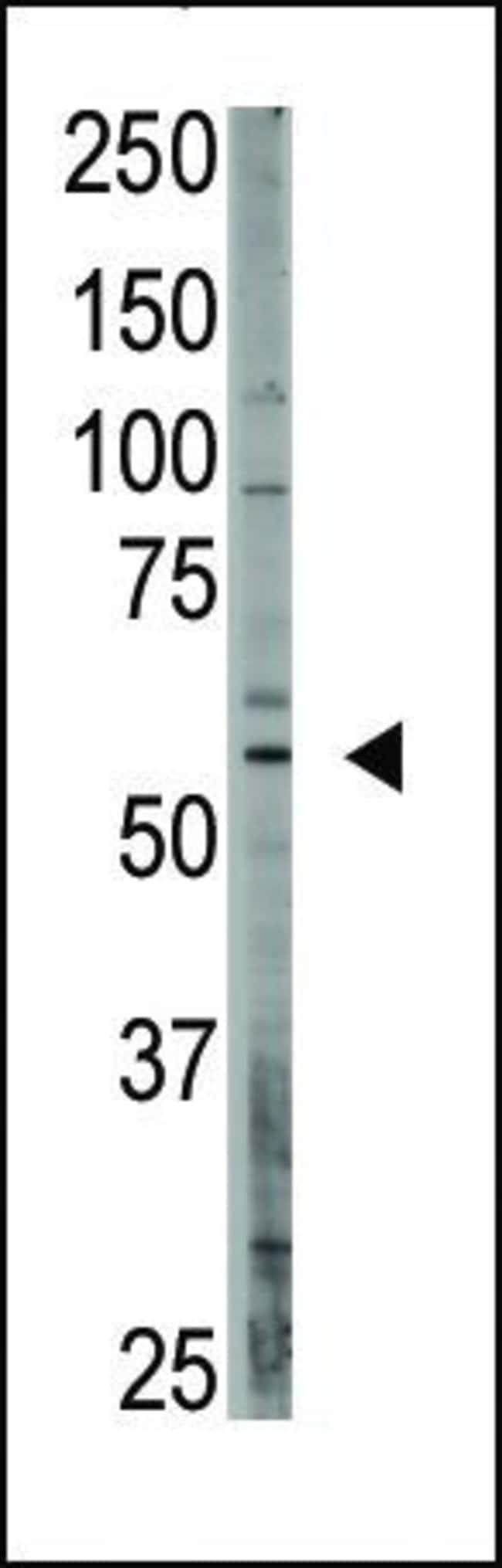 CREB3L1 Rabbit anti-Human, Polyclonal, Invitrogen 400 µL; Unconjugated