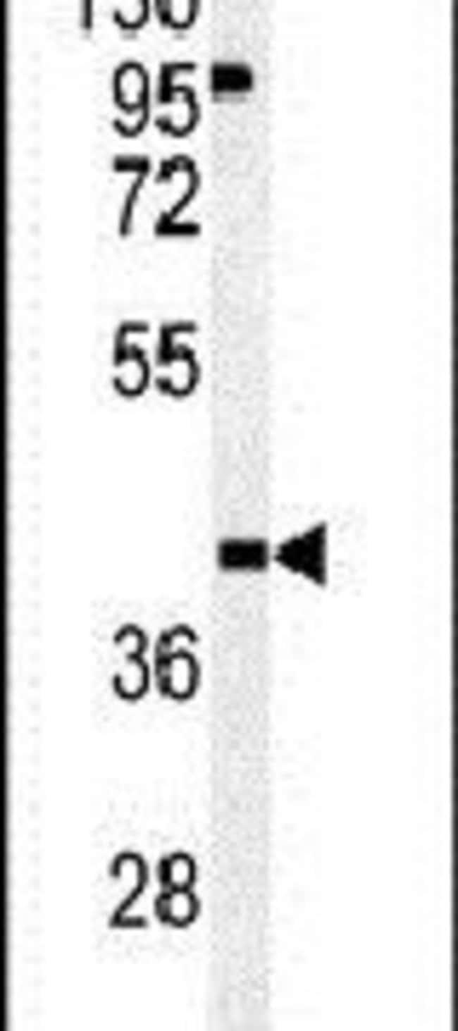 OMD Rabbit anti-Human, Polyclonal, Invitrogen 400 µL; Unconjugated