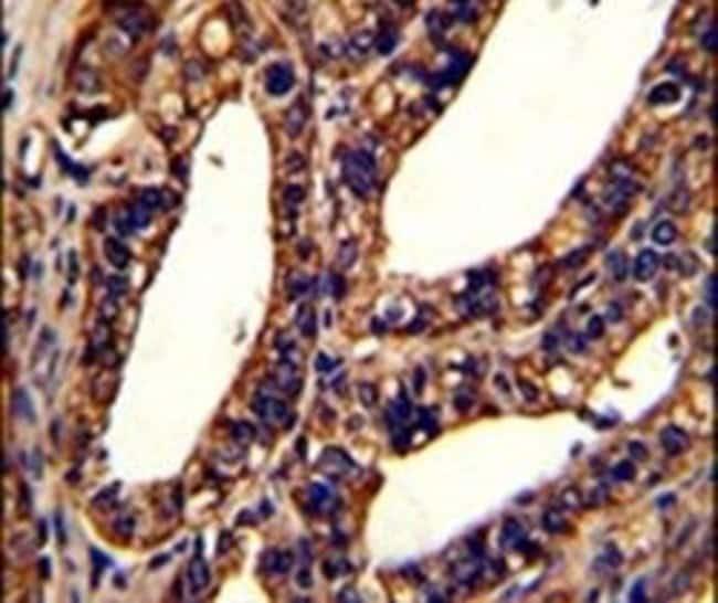 ORAI1 Rabbit anti-Human, Mouse, Polyclonal, Invitrogen 400 µL; Unconjugated