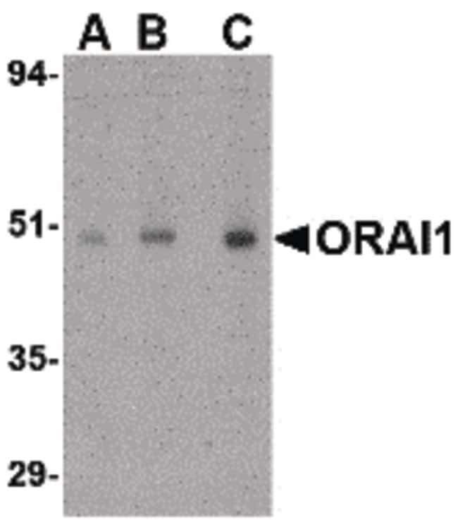 ORAI1 Rabbit anti-Human, Mouse, Polyclonal, Invitrogen 100 µg; Unconjugated