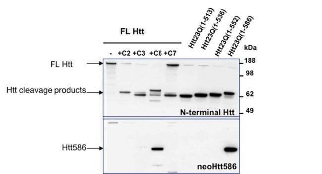 Huntingtin Rabbit anti-Human, Mouse, Polyclonal, Invitrogen 100 µL;