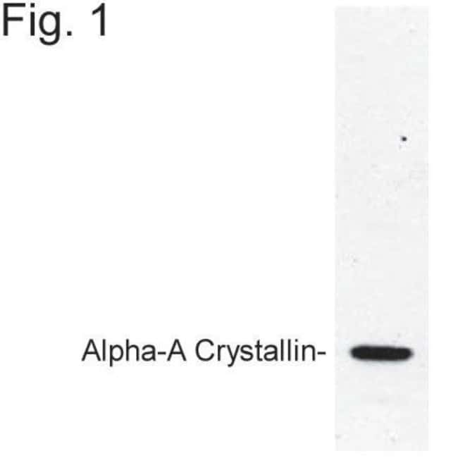 Alpha A Crystallin Rabbit anti-Bovine, Rat, Polyclonal, Invitrogen 100