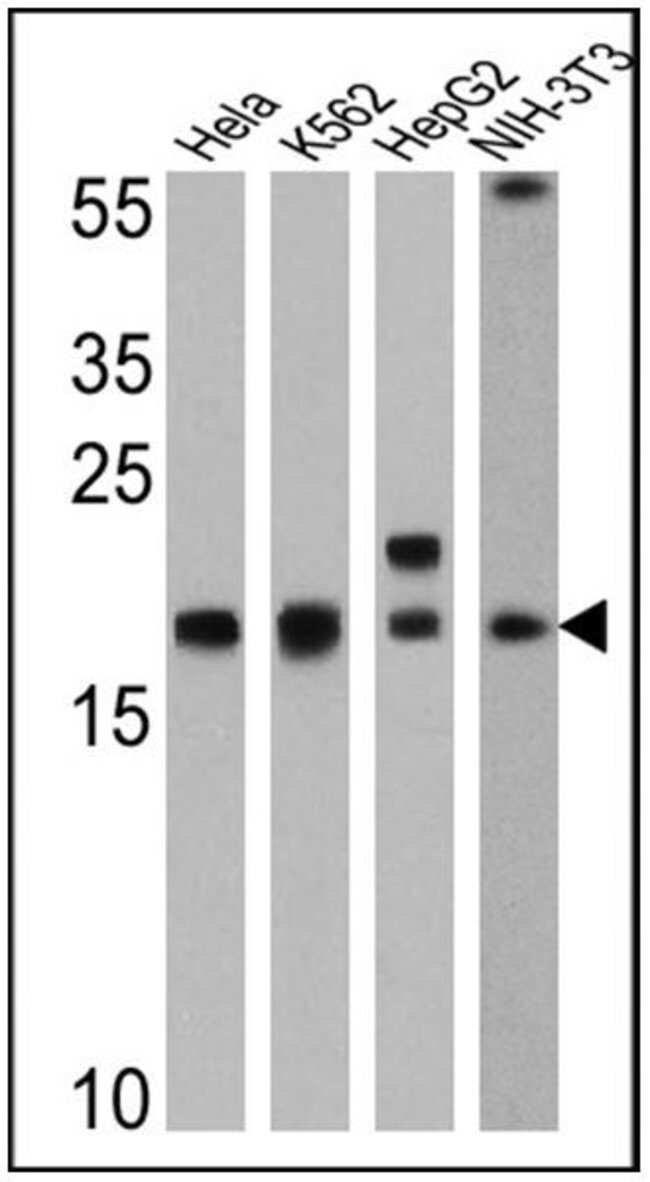 Cyclophilin A Rabbit anti-Hamster, Human, Mouse, Polyclonal, Invitrogen