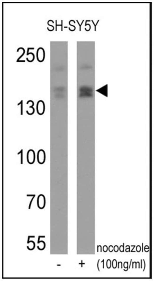 Phospho-nNOS (Ser1417) Rabbit anti-Human, Rat, Polyclonal, Invitrogen 100