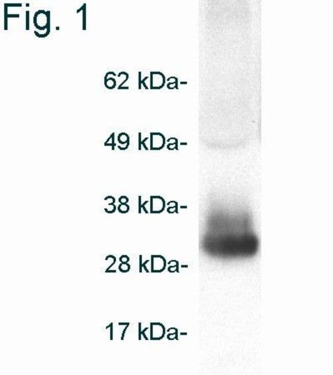 Adiponectin Rabbit anti-Mouse, Polyclonal, Invitrogen 200 µg; Unconjugated