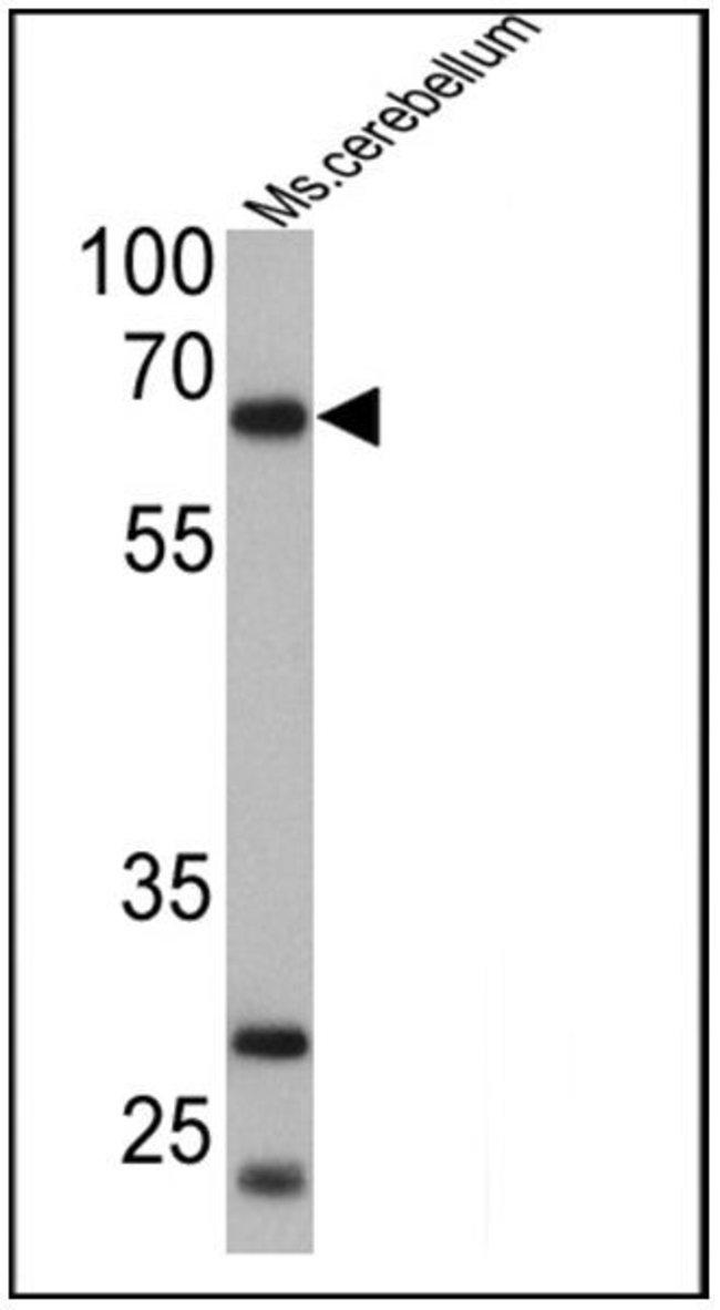 PCSK2 Rabbit anti-Human, Mouse, Polyclonal, Invitrogen 100 µg; Unconjugated
