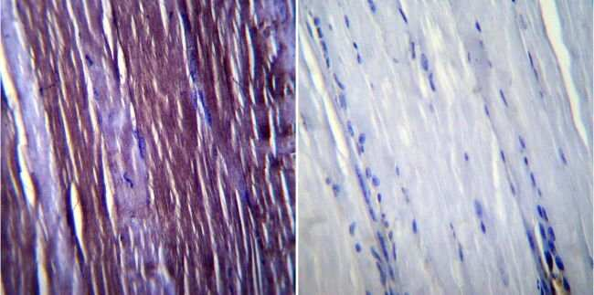 Caveolin 3 Rabbit anti-Human, Mouse, Rat, Polyclonal, Invitrogen 100 µg;