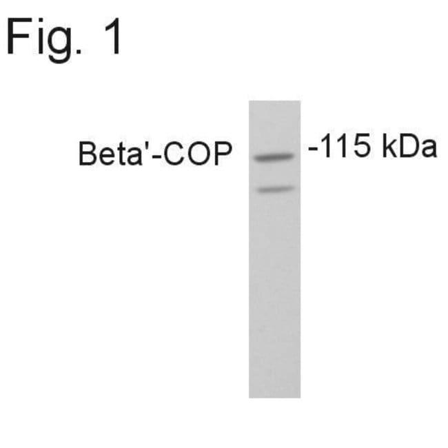 beta COP Rabbit anti-Rat, Polyclonal, Invitrogen 100 µg; Unconjugated
