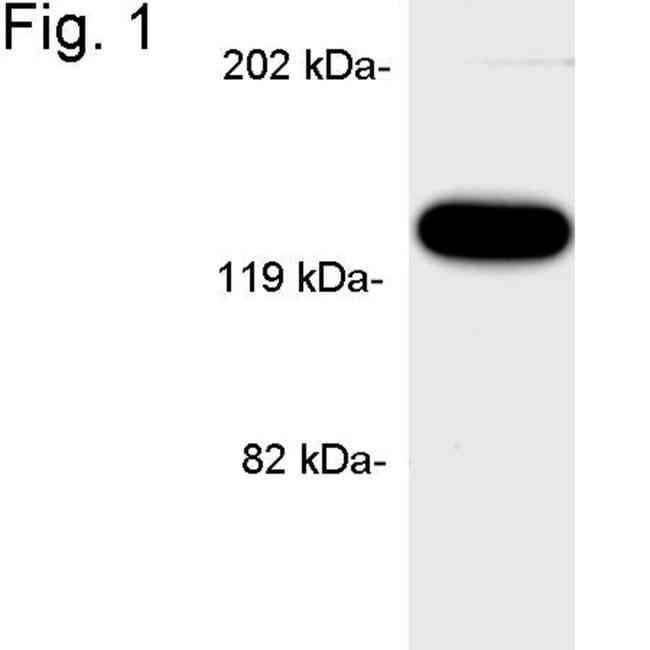 APBA1 Rabbit anti-Mouse, Rat, Polyclonal, Invitrogen 100 µg; Unconjugated