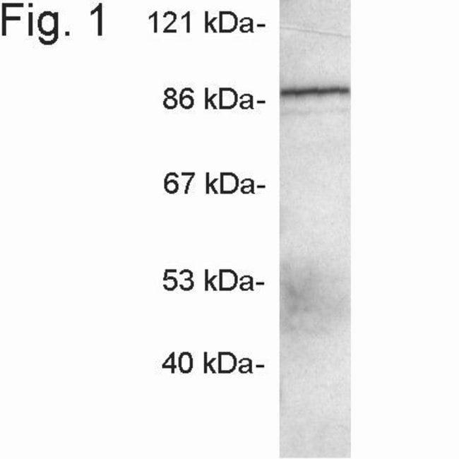 MINT3 Rabbit anti-Human, Mouse, Rat, Polyclonal, Invitrogen 100 µg;