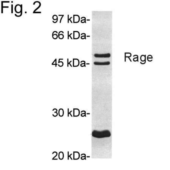 RAGE Rabbit anti-Mouse, Rat, Polyclonal, Invitrogen 100 µg; Unconjugated