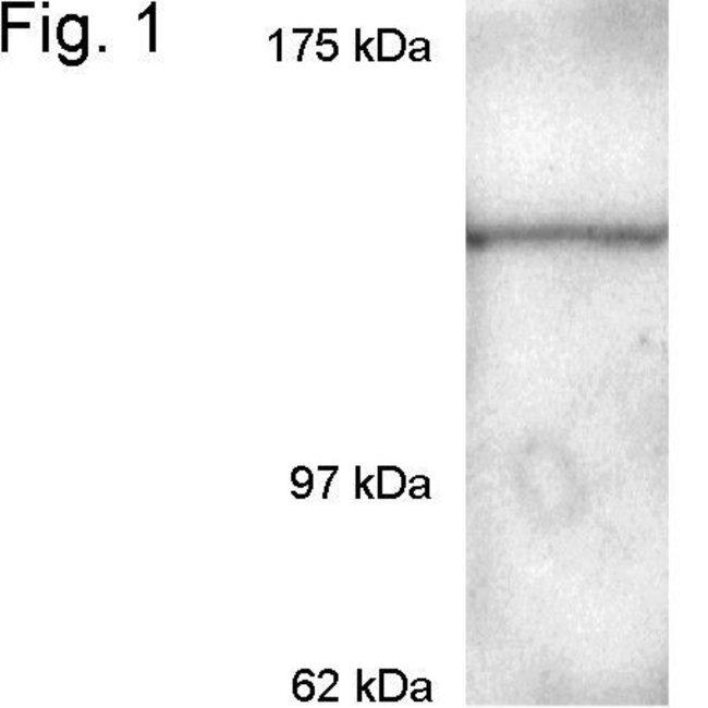 CRM1 Rabbit anti-Bovine, Human, Mouse, Polyclonal, Invitrogen 100 µg;