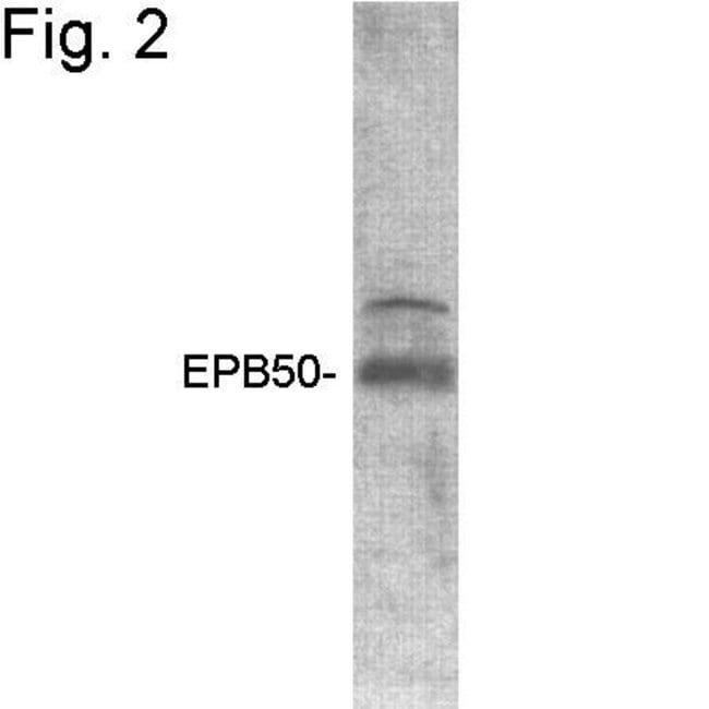 EBP50 Rabbit anti-Human, Mouse, Polyclonal, Invitrogen 100 µg; Unconjugated