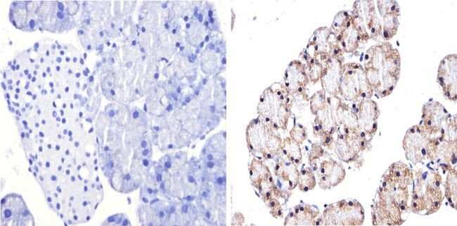 GATA4 Rabbit anti-Human, Mouse, Polyclonal, Invitrogen 100 µg; Unconjugated