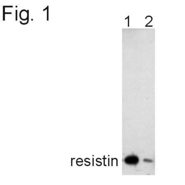 Resistin Rabbit anti-Human, Polyclonal, Invitrogen 100 µg; Unconjugated