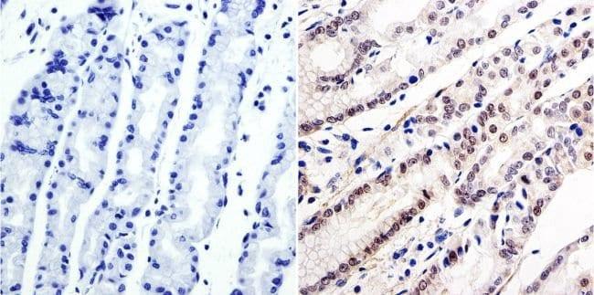 GATA6 Rabbit anti-Human, Mouse, Polyclonal, Invitrogen 100 µg; Unconjugated