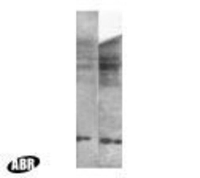 Histone H3 Rabbit anti-Human, Mouse, Polyclonal, Invitrogen™