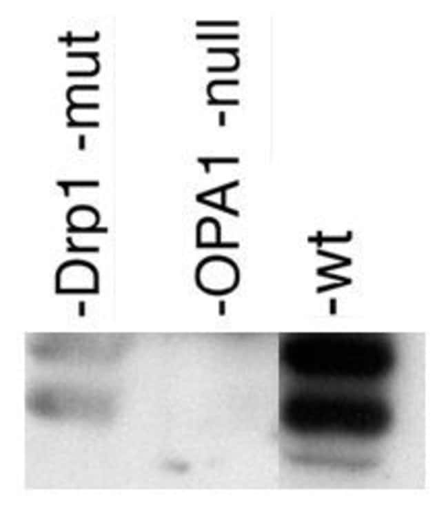 OPA1 Rabbit anti-Chicken, Human, Mouse, Porcine, Rat, Polyclonal, Invitrogen
