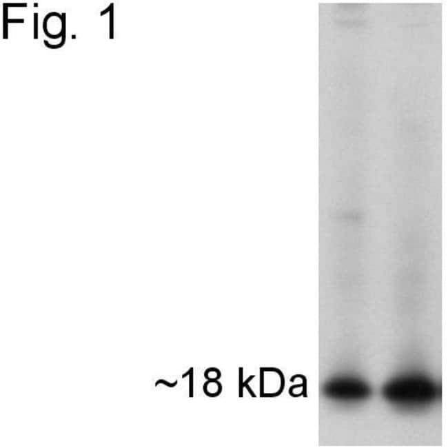 APH1 Rabbit anti-Human, Mouse, Polyclonal, Invitrogen 100 µg; Unconjugated
