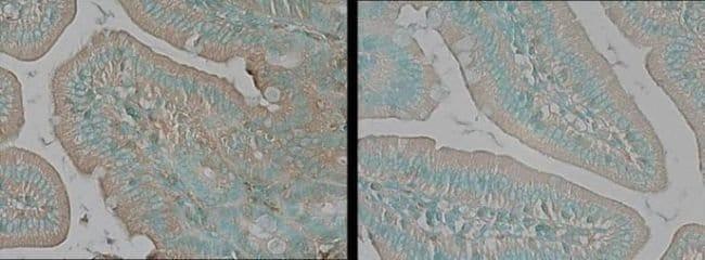 TNIK Rabbit anti-Human, Mouse, Polyclonal, Invitrogen 25 µg; Unconjugated