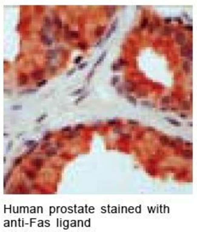 CD178 Rabbit anti-Human, Mouse, Rat, Polyclonal, Invitrogen 500 µL;