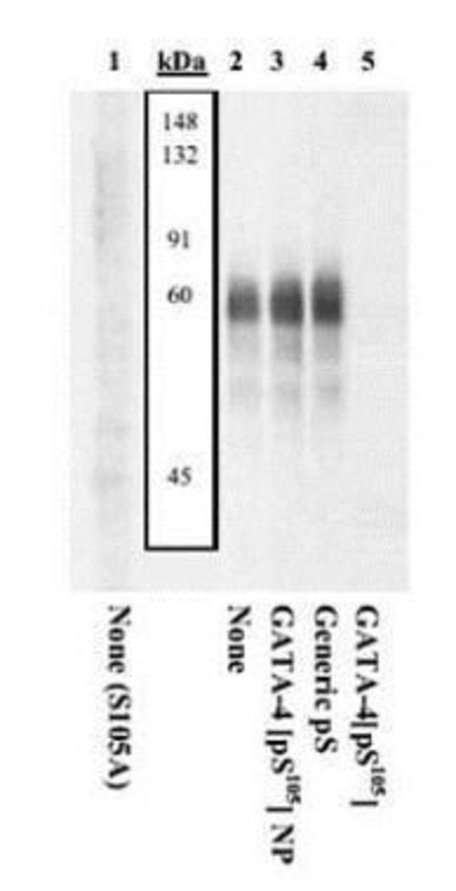 Phospho-GATA4 (Ser105), Polyclonal, Invitrogen 50µL; Unconjugated