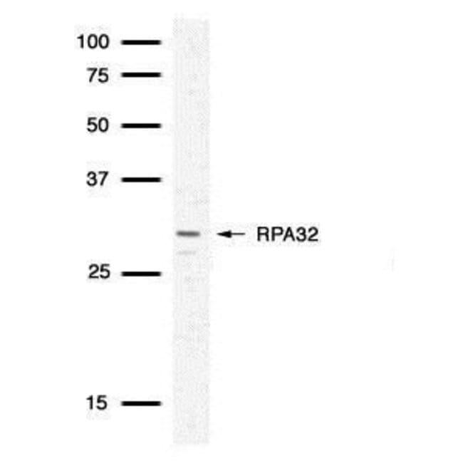 RPA2 Rabbit anti-Human, Mouse, Polyclonal, Invitrogen 100 µL; Unconjugated