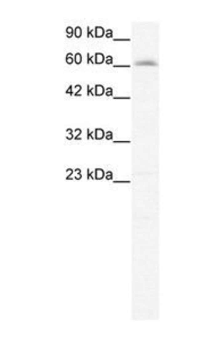 IVNS1ABP Rabbit anti-Human, Polyclonal, Invitrogen 100 µg; Unconjugated