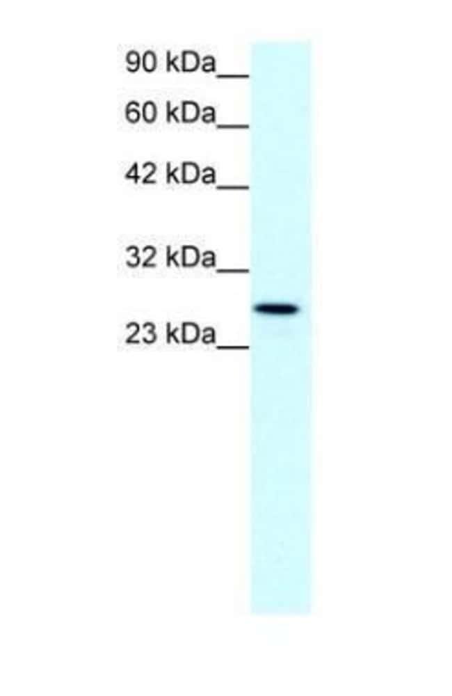 Claudin 13 Rabbit anti-Mouse, Polyclonal, Invitrogen 100 µg; Unconjugated