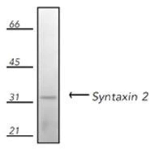 Syntaxin 2 Rabbit anti-Drosophila, Hamster, Human, Mouse, Non-human primate,