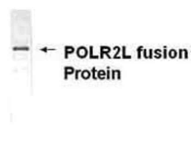 POLR2L, Polyclonal, Invitrogen 50µg; Unconjugated