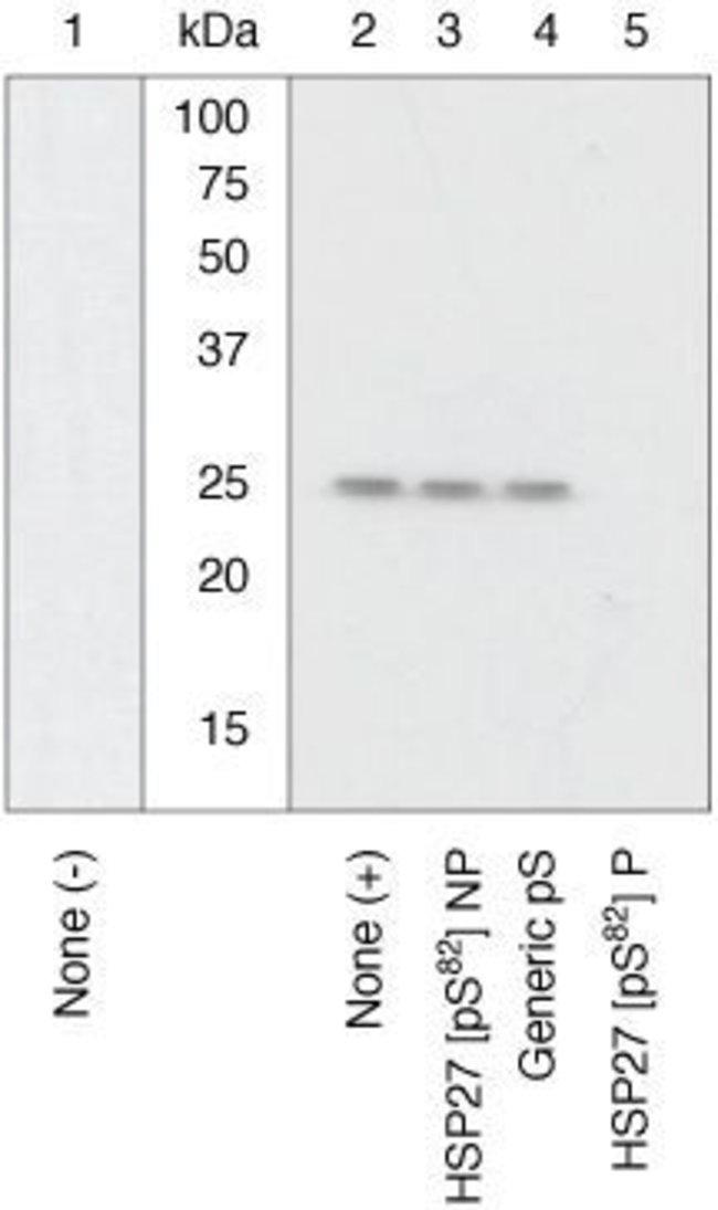 Phospho-HSP27 (Ser82), Polyclonal, Invitrogen 50µL; Unconjugated