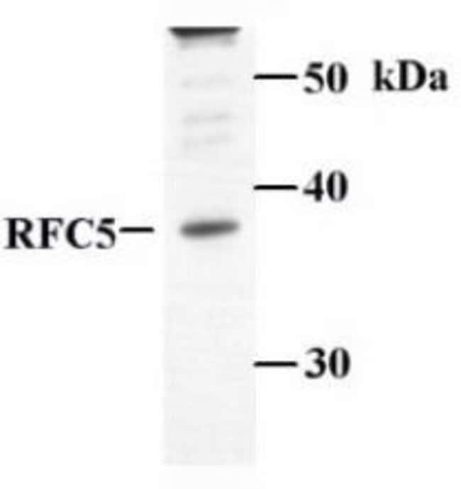 RFC5, Polyclonal, Invitrogen 50µL; Unconjugated