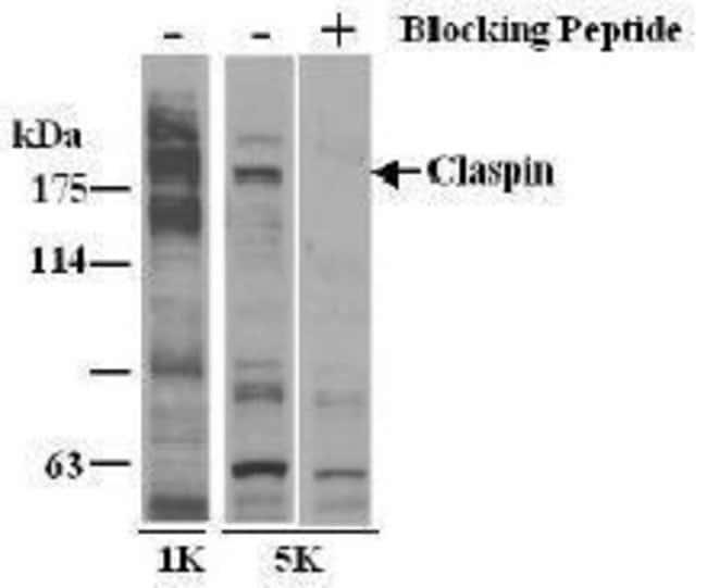 Claspin, Polyclonal, Invitrogen 50µL; Unconjugated