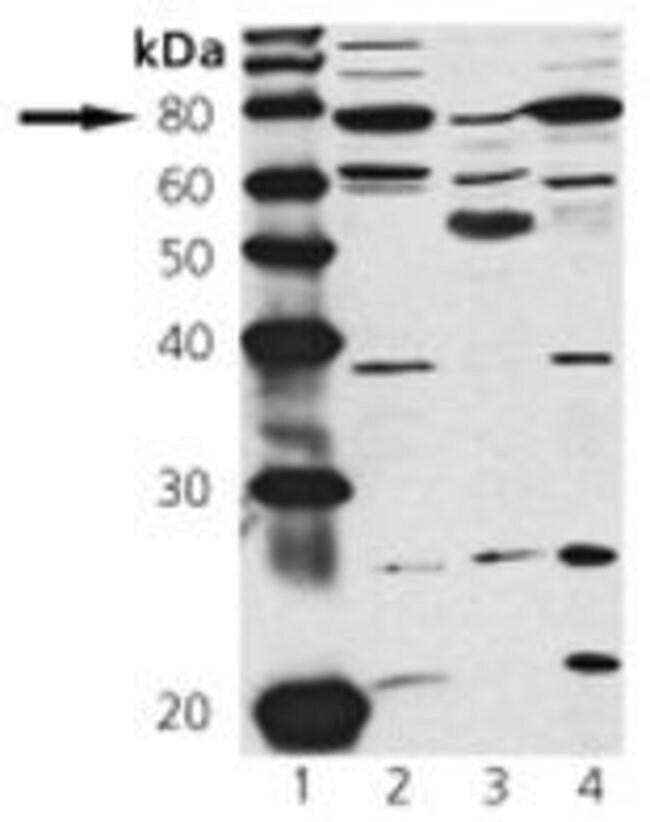 cGKI Rabbit anti-Bovine, Human, Mouse, Rat, Polyclonal, Invitrogen 50 µg;