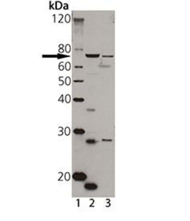 TAP1 Rabbit anti-Human, Rat, Polyclonal, Invitrogen 50 µL; Unconjugated