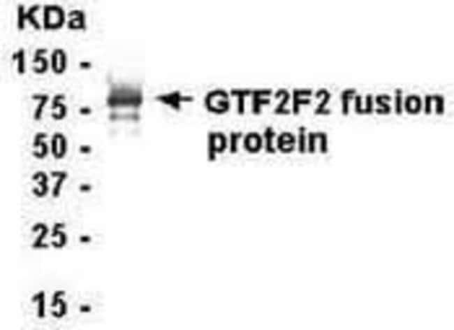 GTF2F1, Polyclonal, Invitrogen 50µg; Unconjugated