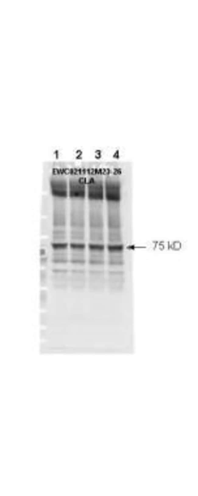 Phospho-NF2 (Ser518) Rabbit anti-Human, Mouse, Polyclonal, Invitrogen 50