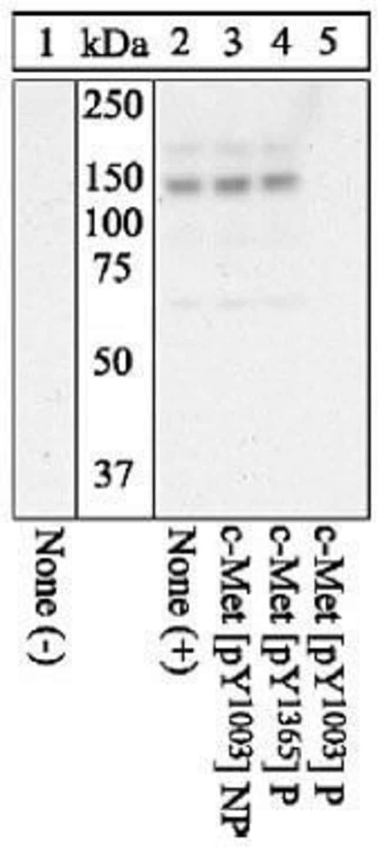 Phospho-c-Met (Tyr1003), Polyclonal, Invitrogen 50µL; Unconjugated
