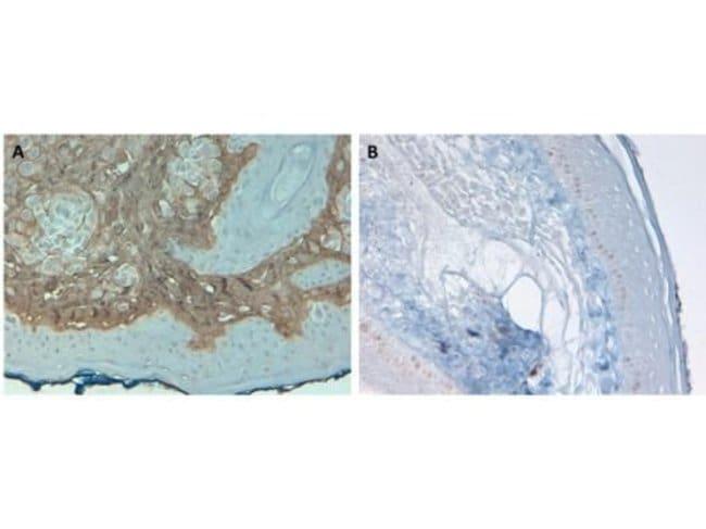 Collagen I Rabbit anti-Bovine, Human, Biotin, Polyclonal, Invitrogen 50