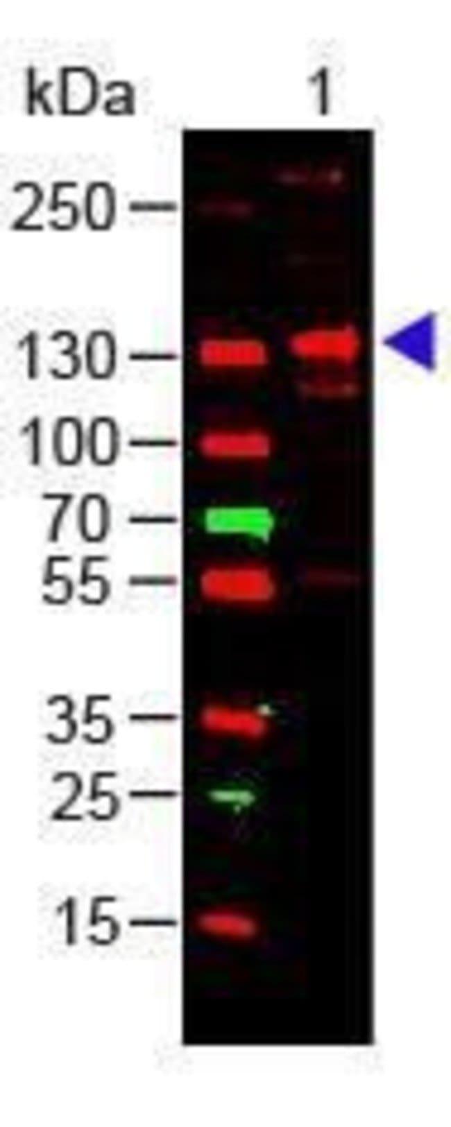 Collagen III Rabbit anti-Bovine, Human, Polyclonal, Invitrogen 100 µg;